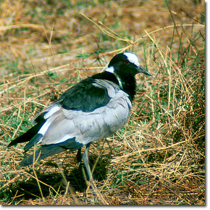 Blacksmith plover in Amboseli National Park. Javier Yanes/Kenyalogy.com
