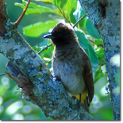 Common bulbul at El Karama Ranch. Javier Yanes/Kenyalogy.com