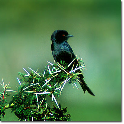 Common drongo in Lake Nakuru National Park. Javier Yanes/Kenyalogy.com