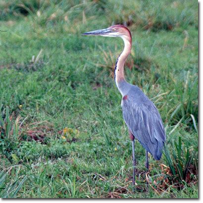 Goliath heron in Amboseli National Park. Javier Yanes/Kenyalogy.com