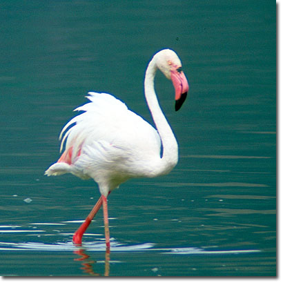 Greater flamingo at Lake Bogoria. Javier Yanes/Kenyalogy.com